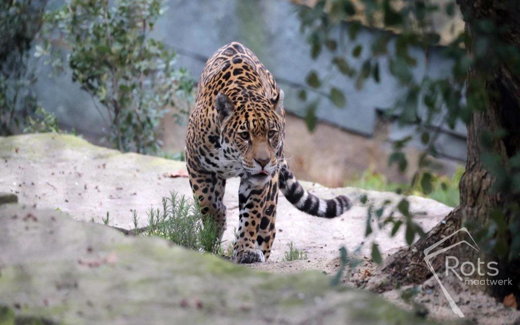 jaguar, verblijf, jaguarverblijf, Dolemiet, Artis, dierentuin, Amsterdam, kwaliteit, bijzonder, maatwerk, centrum, turn-key, bouwteam, aannemer, architectuur, design, kunstwerk, kunst, ontwikkeling, herinrichting, doken, slijpen, splijten, duitsland, duits, jaguars, staal, hek, hekwerk, netten, natuursteen, graniet, hardsteen